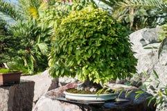 Hornbeam bonsai in a japanese garden royalty free stock photography