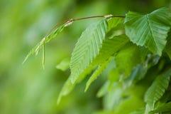 Hornbeam leaves in hedge. Closeup of hornbeam leaves in hedge Stock Photography