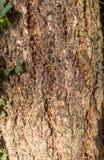 Closeup of Hornbeam tre trunk. Closeup shot of a Hornbeam tree trunk with ivy.  Natural light Stock Photos