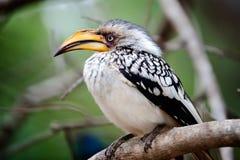 Closeup of a Hornbill. Yellow Billed Hornbill bird sitting on a branch in the wild stock photos