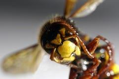 Closeup of hornet Stock Photo