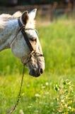 Closeup of a horse Stock Image