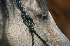Closeup of a horse. The pinto pleasure horse with its soft harness posing for a nice side portrait stock image