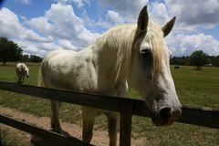 Closeup of a horse. Closeup of a white retired horse stock photography