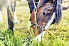Closeup of horse eating grass Stock Photography
