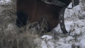 Horse eating hay in winter. Closeup of horse eating hay in winter in the paddock stock video footage