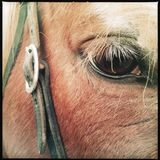 Closeup of horse eye Royalty Free Stock Photo