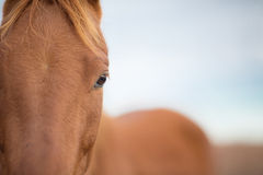 Closeup of a horse face Royalty Free Stock Image
