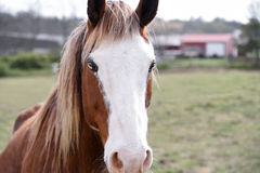 Closeup of horse in field. Close up of a brown horse with a white face and blond colored mane Stock Image