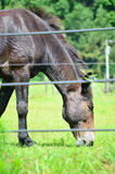 Closeup of Horse Grazing in Field on Summer Day Stock Image