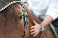 Closeup of a horse head with detail on the eye and on rider hand. harnessed horse being lead - close up details.  a stallion horse Stock Images