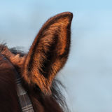 Closeup of horse`s ear. Closeup of red horse`s ear against the blue sky stock image