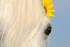 Closeup of horse's eye Stock Photography