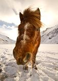 Closeup of a horse stading in the snow Stock Photography