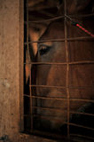 Closeup of horses eye. Looking out of stall window Royalty Free Stock Photo