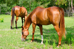 Closeup of horses grazing in a small field Royalty Free Stock Images