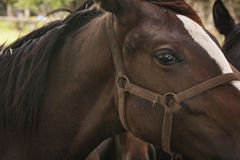 Closeup of Horses in an open grass field Royalty Free Stock Images