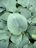 Closeup hosta Stock Photo