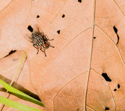 Closeup of house fly on leaf. Closeup of common house fly on a brown leaf with with holes in it Royalty Free Stock Photo