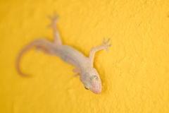 Closeup house lizard on yellow wall background Stock Images