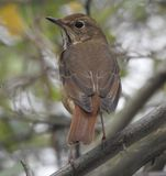 Closeup of House Wren Perched in a Tree Royalty Free Stock Photos