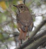 Closeup of House Wren Perched in a Tree. Bird avian Branch macro songbird Royalty Free Stock Photos