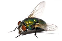Closeup of a housefly Stock Photo