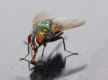 Closeup of a Housefly Stock Images