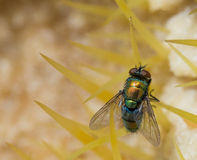 Closeup of housefly Royalty Free Stock Image