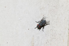 Closeup of Housefly on the white floor Stock Photo