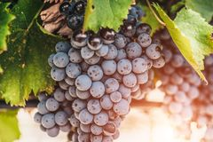 Closeup of a huge bunch of grapes. On a farm - Luberon - a good year stock images