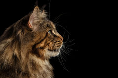 Closeup Huge Maine Coon Cat Profile Looks, Isolated Black Background. Close-up Portrait of Huge Maine Coon Cat Looking up Isolated on Black Background, Profile royalty free stock photo