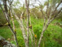 Closeup of huisache tree spines in Texas hill country woods stock photos