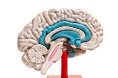 Closeup of human brain model on white background. Closeup of a human brain model on white background royalty free stock photo