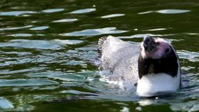 Closeup of a humboldt penguin swimming in the water, semi aquatic bird specie from south america, Vulnerable animal specie. A closeup of a humboldt penguin stock video footage