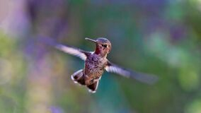 Closeup of Hummingbird in Flight Stock Photo