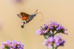 Closeup of a hummingbird hawk-moth 03 stock images