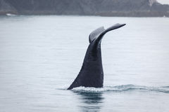 Closeup of humpback whale fluke disappearing in frigid Alaskan waters Royalty Free Stock Photo