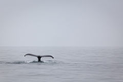 Closeup of humpback whale tail dripping water in M Royalty Free Stock Photo