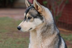 CloseUp Of A Husky royalty free stock image