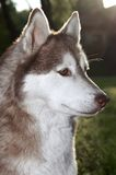 Closeup husky dog outdoors Royalty Free Stock Image
