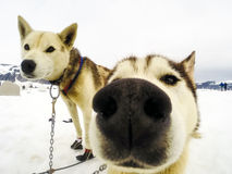 Closeup of husky sled dogs getting ready to mush Royalty Free Stock Image