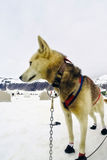 Closeup of husky sled dogs getting ready to mush Royalty Free Stock Photos