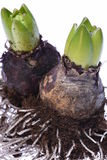 Closeup of hyacinth bulbs Royalty Free Stock Images