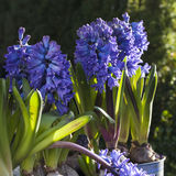 Closeup of  hyacinth flowers spring background Royalty Free Stock Photography