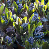 Closeup of  hyacinth flowers spring background Royalty Free Stock Images