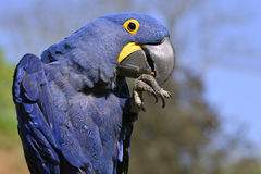 Closeup of Hyacinth macaw Stock Photos