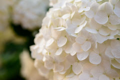 Closeup of Hydrangea flower Royalty Free Stock Photography