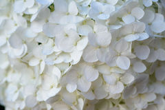 Closeup of Hydrangea flower Royalty Free Stock Photo