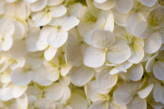 Closeup of Hydrangea flower Stock Photo